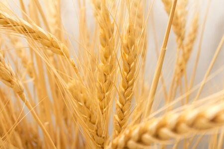 wheat as the background photo