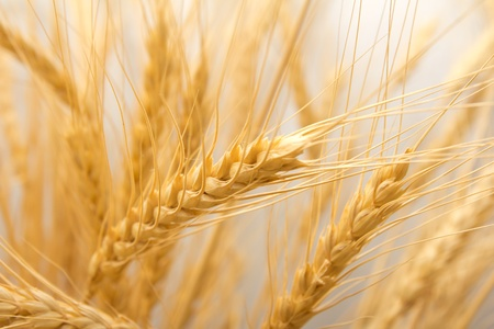 barley field: wheat as the background Stock Photo