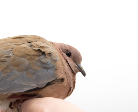 Portrait of a dove on a white background photo
