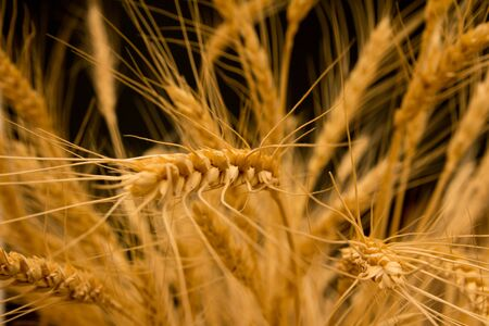 ears of ripe wheat on a black background Stock Photo - 13049761