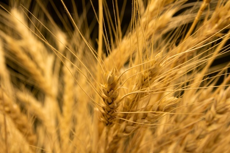 ears of ripe wheat on a black background Stock Photo - 13049540