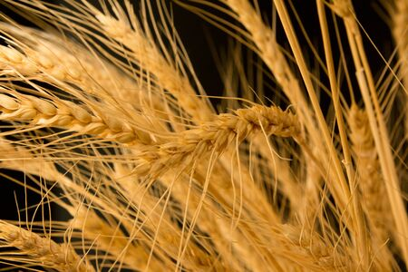 ears of ripe wheat on a black background Stock Photo - 13049293