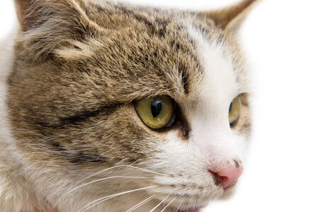 portrait of a cat on a white background Stock Photo - 13049299
