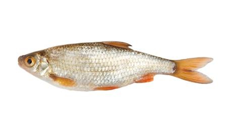 rutilus: roach (Rutilus rutilus) on a white background