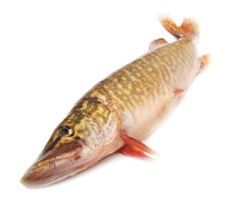 pike on a white background Stock Photo - 13048139