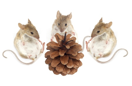 pine three: three mouse sit and look at the pine nuts on a white background