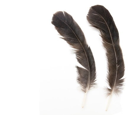 Two raven feathers on white background  photo