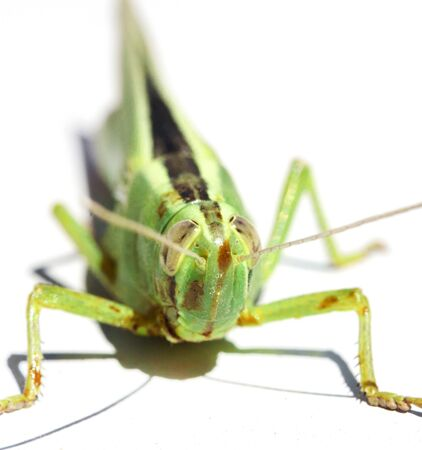 green insect grasshopper isolated on white  photo