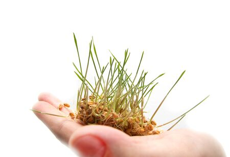 wheat seedling on the hand Stock Photo - 13204701