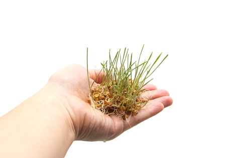 wheat seedling on the hand Stock Photo - 13200143