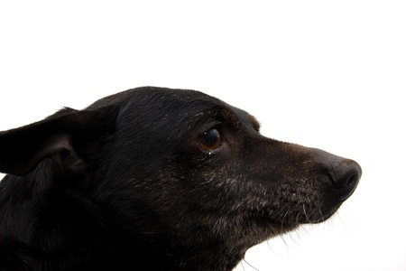 portrait of a black dog on a white background photo
