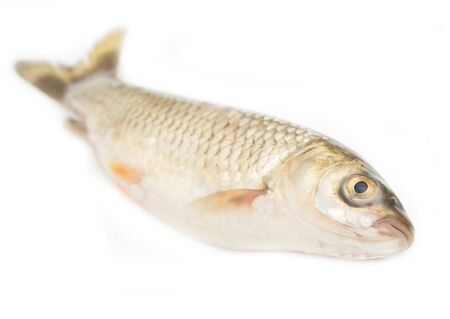 grass carp: grass carp isolated on white