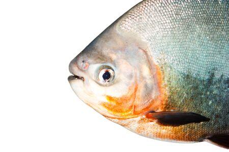 miserly: piranha portrait Stock Photo