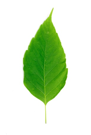green leaf: green leaf isolated on white background