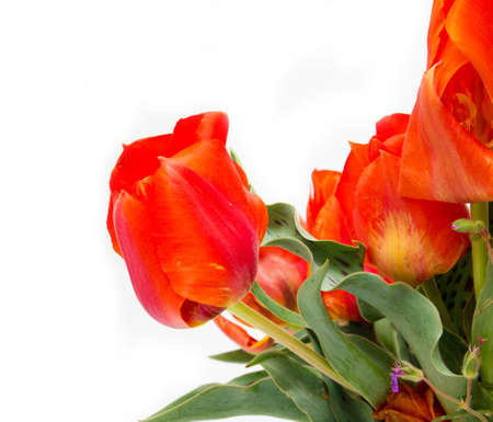 wild Tulip red on a white background photo