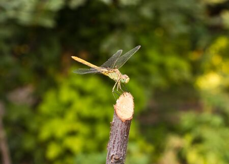 Dragonfly on the nature, macro photo
