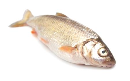 carp on a white background Stock Photo - 14061916