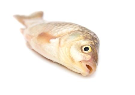 crucian carp: carp on a white background