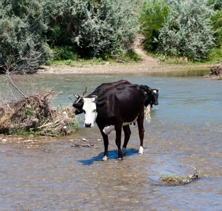 Cows graze on the river photo