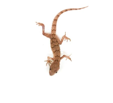 lizard on white background photo