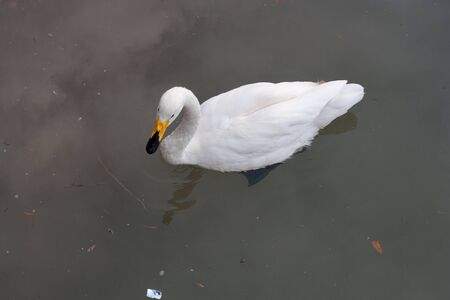 white swan swims in the lake photo