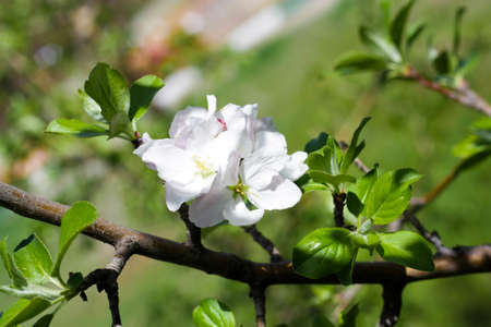 Beautiful flowers on the fruit tree in spring photo