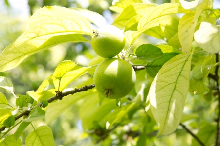 green apples on the tree photo