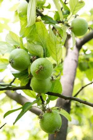 applet: green apples on the tree