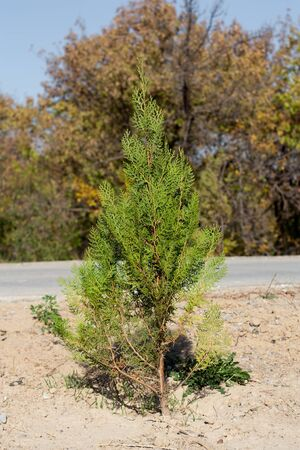 conifer tree on the nature photo
