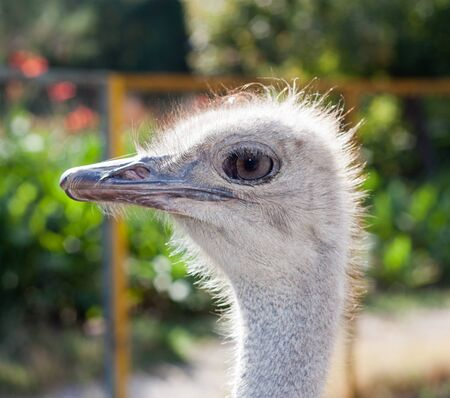 portrait of an ostrich photo