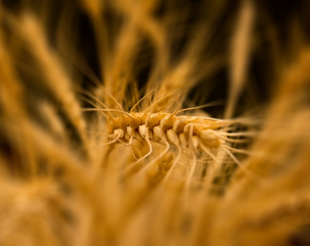 ears of ripe wheat on a black background  photo