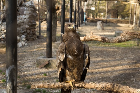 aquila: an eagle at the zoo