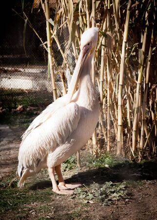 white pelican at the zoo photo