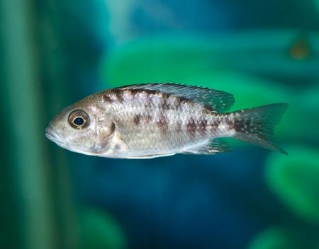 fish in aquarium Stock Photo - 14570335