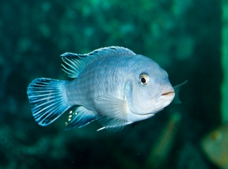 fish in aquarium Stock Photo - 14926094