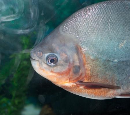 piranha: piranha