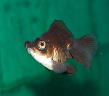 fish in aquarium Stock Photo - 14926218
