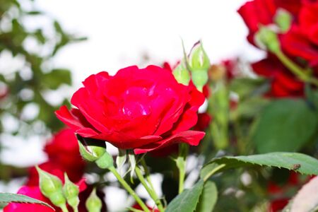 a rose on the nature photo