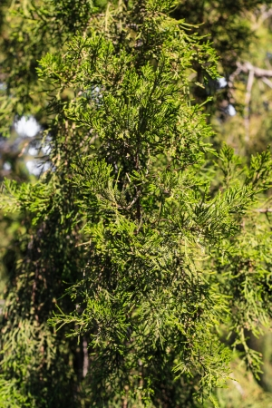thuja on the nature of the background photo
