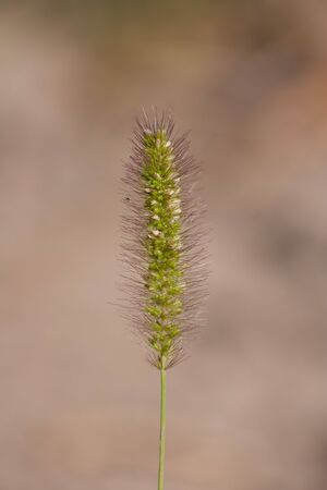 Spike grass with seeds photo