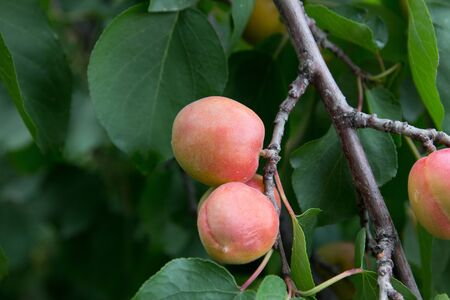 apricots on the tree on the nature photo