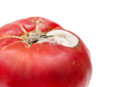 old red tomatoes with mold on white background photo
