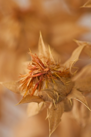 safflower as a background photo