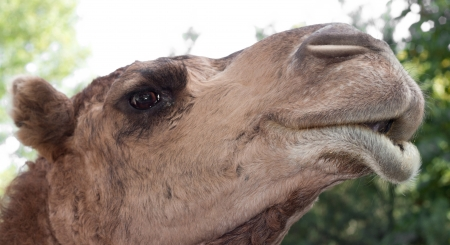 portrait of a camel photo