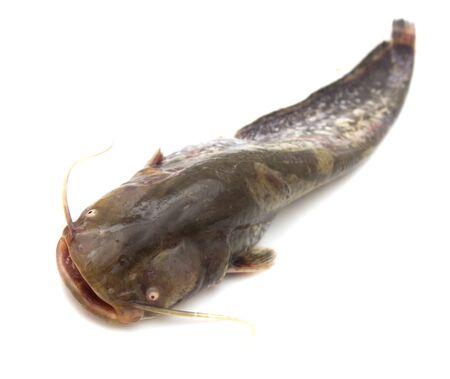 cartilaginous: catfish on a white background