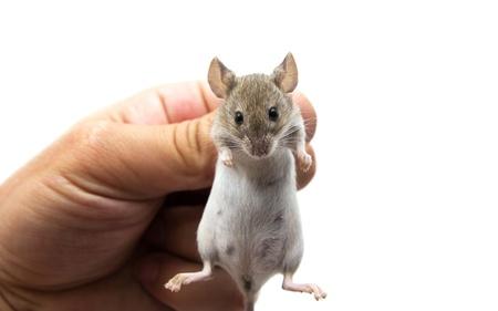 mus: mus i handen på en vit bakgrund