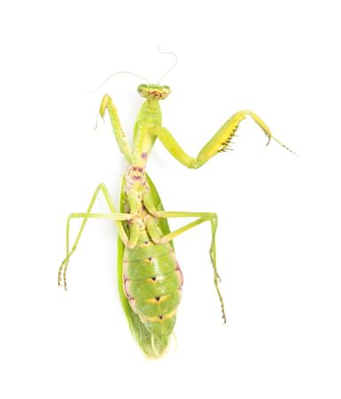 green mantis on a white background photo
