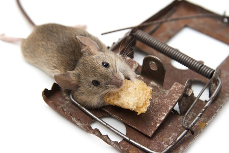 dead rat: mouse in a mousetrap on a white background
