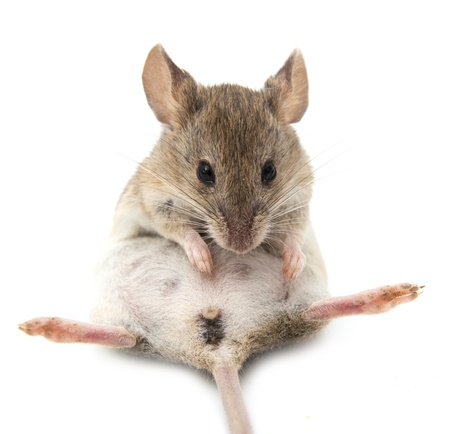 mus: mus på en vit bakgrund