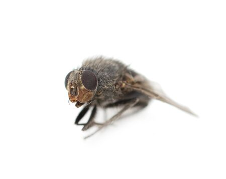 Home fly on a white background. macro photo